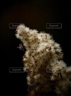 ベージュの綿毛が素敵な植物の写真・画像素材[4923776]