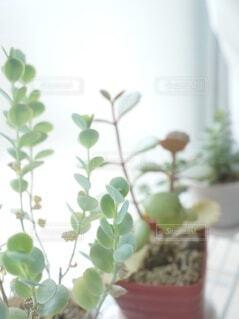 多肉植物3種を窓辺で日光浴の写真・画像素材[4932981]