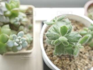 窓辺で多肉植物の日光浴の写真・画像素材[4932982]