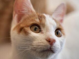 柔らかいミルクティー色のネコの顔アップの写真・画像素材[4938020]