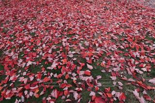 大きな赤い傘の写真・画像素材[866398]