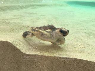 ウミガメの赤ちゃんの写真・画像素材[769717]