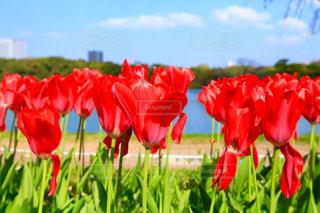 フィールドに赤い花の写真・画像素材[1127957]