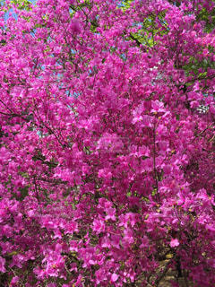 花,春,ピンク,満開,桃色,つつじ,ピンクだらけ