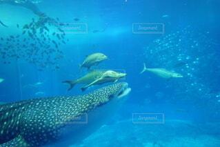 ジンベエザメの写真・画像素材[4869746]