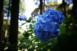 紫陽花の写真・画像素材[4880579]
