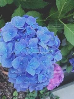 紫陽花の写真・画像素材[4880602]