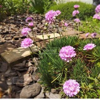 春の庭から~ピンクのアルメリアの写真・画像素材[4875947]