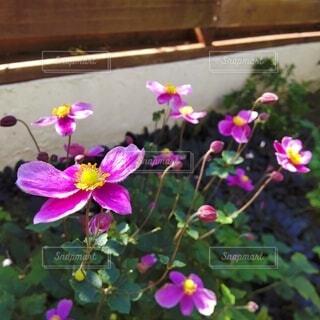 秋らしさが漂う秋明菊の写真・画像素材[4882431]
