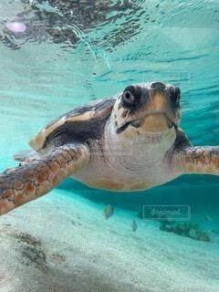 泳ぐカメの写真・画像素材[4872379]