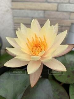 『ほっこりスイレンの花』の写真・画像素材[4879761]