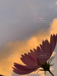 夕暮れ時のコスモスの写真・画像素材[4880060]
