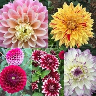 花,屋外,ダリア,草木,菊,ブルーム,フローラ