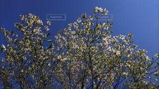 青空に浮かぶ白い花の写真・画像素材[4864941]