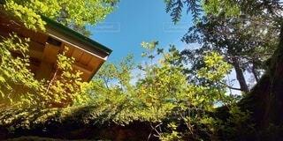 森の中の大きな木の写真・画像素材[4877941]