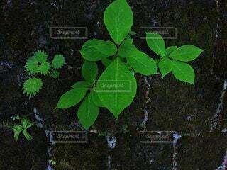 石積みのすき間に自生する植物の写真・画像素材[4900395]