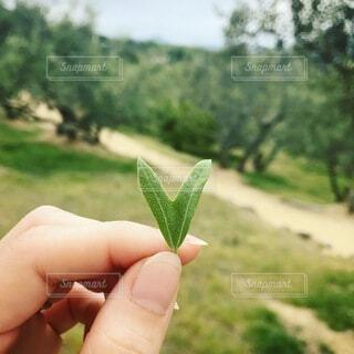 ハートオリーブの葉の写真・画像素材[4872843]