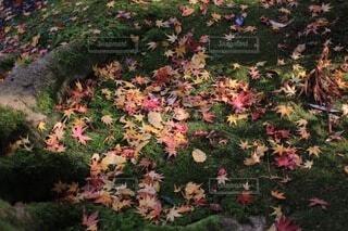 花,秋,紅葉,屋外,散歩,葉,草,落ち葉,樹木,苔,地面,草木,木の根,ガーデン,カエデ
