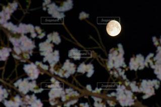 自然,風景,空,花,桜,夜空,ピンク,花見,花びら,樹木,月,隙間,月見,埼玉県,月光,大宮,さくら,さいたま市,大宮公園