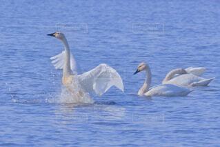 白鳥の湖の写真・画像素材[4902104]