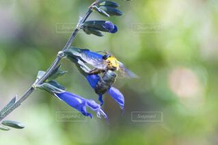 青い花の蜜を集める熊蜂の写真・画像素材[4903054]