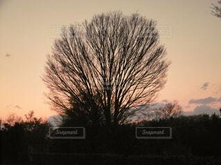 夕暮れの大木の写真・画像素材[4943263]