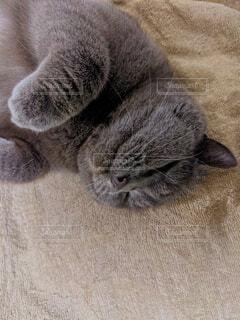 ブランケットの上で寝る猫の写真・画像素材[4952095]