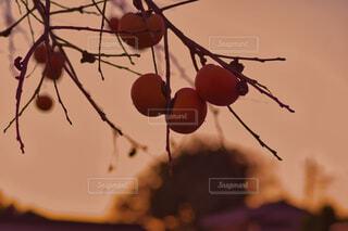 夕暮れの柿の木の写真・画像素材[4952849]