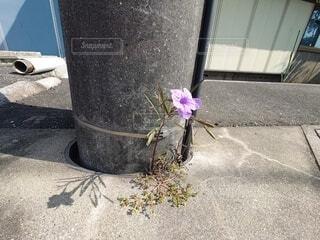 歩道にひとつだけの花の写真・画像素材[4907619]