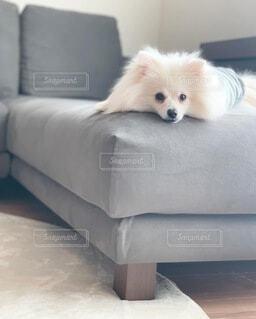 ソファーにくつろぐ犬の写真・画像素材[4866691]