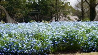 ネモフィラ ブルーの花園の写真・画像素材[4866839]