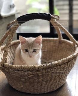 かご猫の写真・画像素材[4867214]