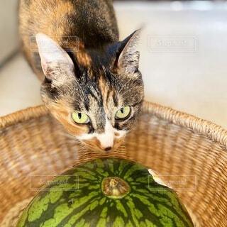 猫とスイカの写真・画像素材[4869591]