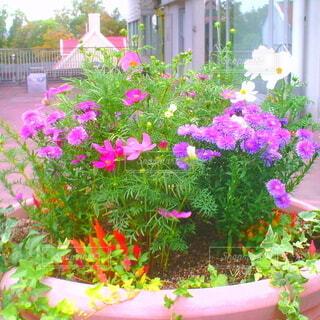 花,屋外,ピンク,植木鉢,観葉植物,草木,ポット,一年草