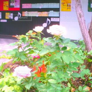 花,屋外,植木鉢,トイカメラ,草木
