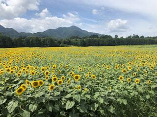 背景に山のあるひまわり畑の写真・画像素材[4868061]