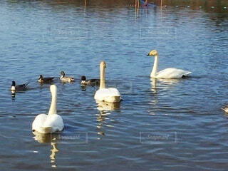 鴨と白鳥の写真・画像素材[4875817]
