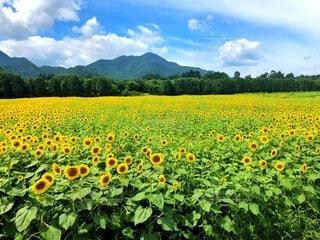 ひまわり畑の写真・画像素材[4878844]