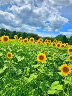 ひまわり畑の写真・画像素材[4878845]