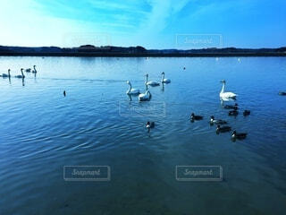 湖を泳ぐ鴨と白鳥の写真・画像素材[4885133]