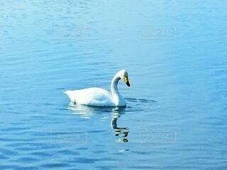 1羽の白鳥の写真・画像素材[4885143]