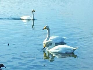 3羽の白鳥の写真・画像素材[4885302]