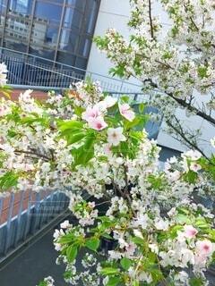 葉桜の写真・画像素材[4896323]