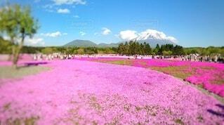 富士山と芝桜の写真・画像素材[4904545]