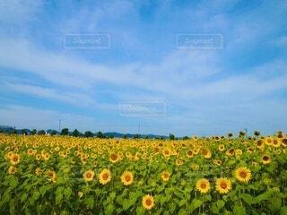 ひまわり畑の写真・画像素材[4873087]