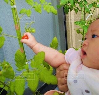 トマト初収穫の写真・画像素材[4873276]