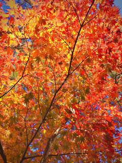 自然,秋,紅葉,森林,屋外,太陽,緑,赤,夕焼け,もみじ,景色,オレンジ,草,樹木,大地,新緑,落葉,草木,日中,カエデ