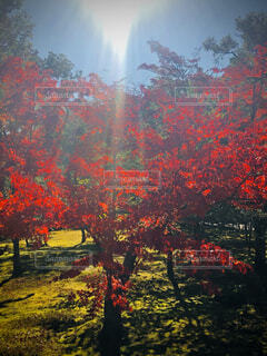 自然,秋,紅葉,森林,屋外,太陽,緑,赤,夕焼け,もみじ,景色,草,樹木,大地,新緑,草木,日中,カエデ