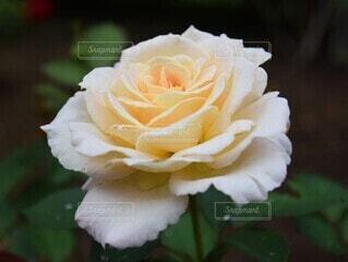 雨上がりのバラの写真・画像素材[4874323]