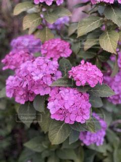 紫陽花の写真・画像素材[4874145]